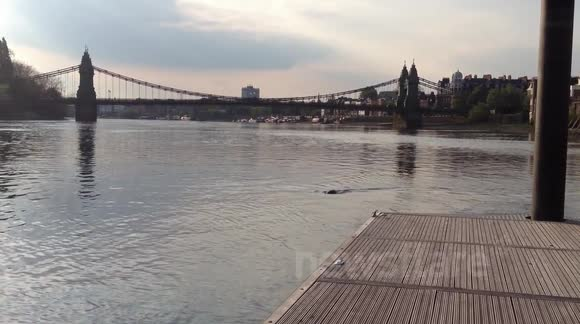 Seal in the thames, very far up at Hammersmith!