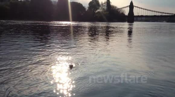 Seal swimming around Hammersmith