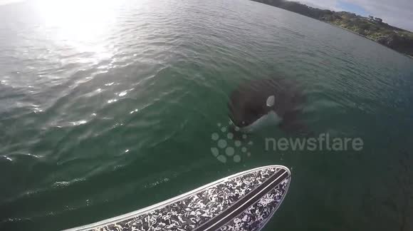 Killer whale swims under paddleboarder