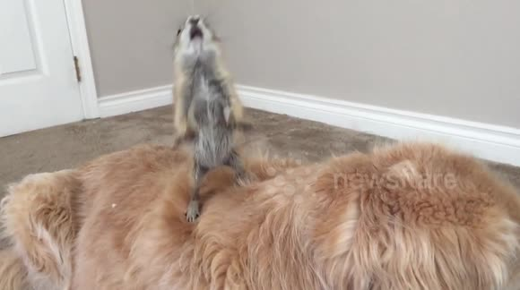Hilarious prairie dog faceplant