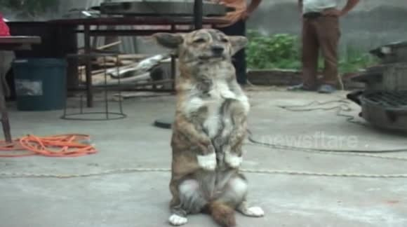 Dog learns to sit upright