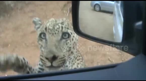 Dramatic moment Leopard attacks jeep at national park