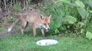 Fox eating a BBQ meal