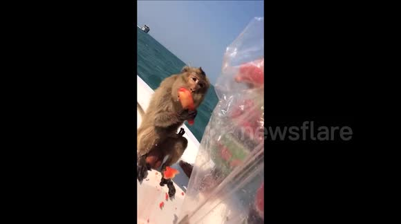 Monkey guzzles watermelon