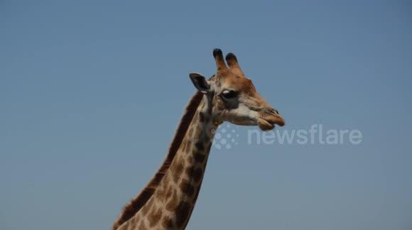 Newsflare - Giraffe chewing the cud