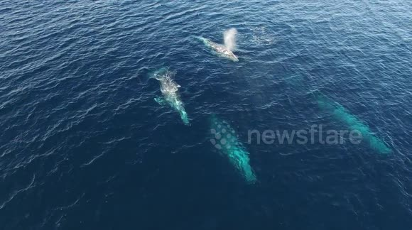Pod of 4 gray whales