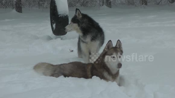 Siberian huskies play in blizzard snow in New Jersey
