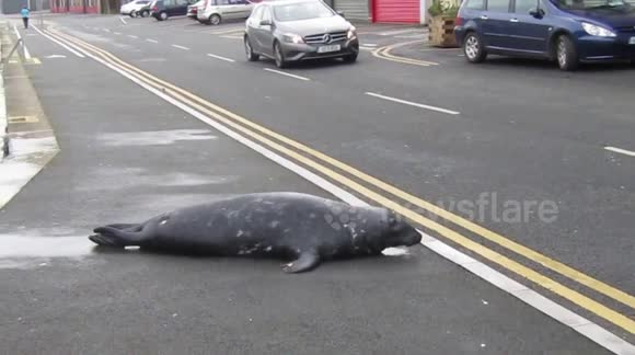 Introducing Sammy the Seal, a local celebrity in an Irish city