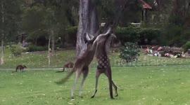Kangaroos Involved In Ferocious Fight Australia