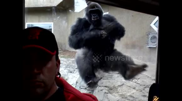 Large silverback gorilla tries to attack zoo visitor through glass