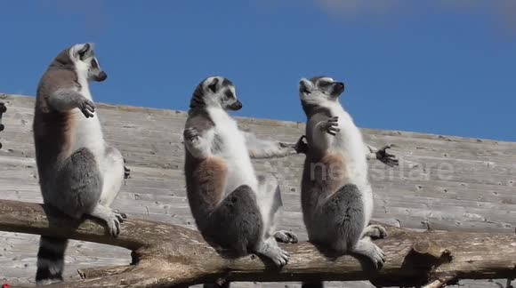 There's something funny about the way lemurs sunbathe