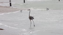 Newsflare - Vet saves crane's life by pulling out cruel bait