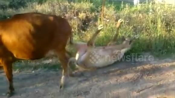 Bull has a nightmare trying to mate with cow