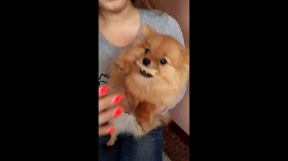 Newsflare Pomeranian Gets Angry