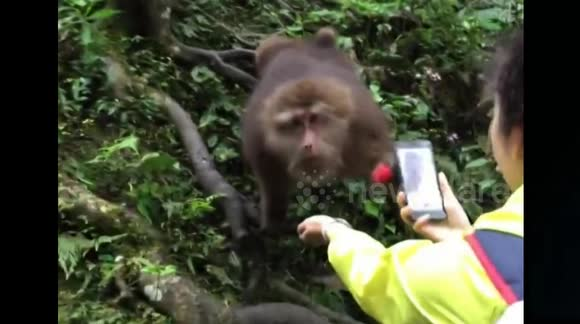 Quick monkey steals tourist's phone