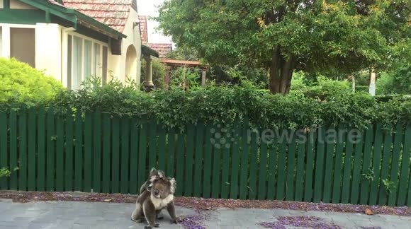Baby and mother koala spotted on the streets of Adelaide, Australia