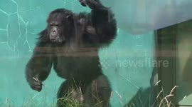 Newsflare - Chimp beaten to death by other primates in zoo