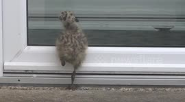 Newsflare - Cute Baby Seagull doesn't understand glass
