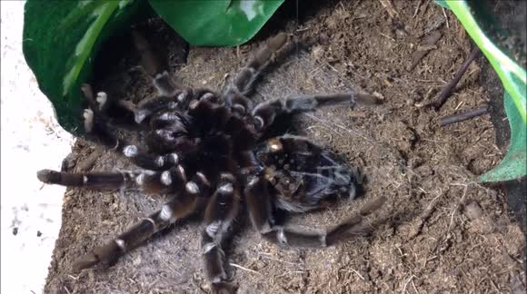 Aphonopelma anax tarantula molts in mesmerising time-lapse
