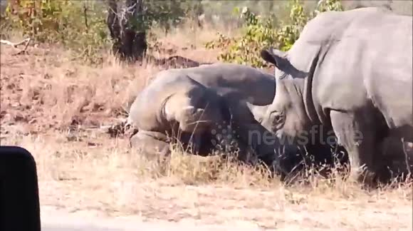Rhinos filmed fighting at South African national park
