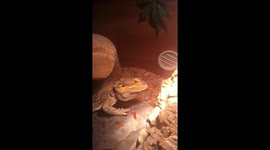 Newsflare - Swimming with a Bearded Dragon