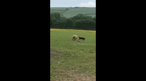 Hilarious role reversal and sheep dog being chased by a sheep
