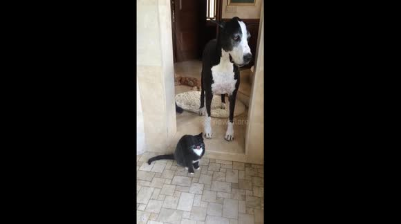Funny Great Dane watches cat drink from the shower in slow motion