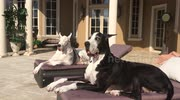 Two Great Danes enjoy Dog Days of Summer