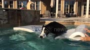 Funny Great Dane bites the pool water from her floatie