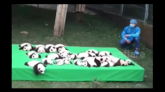 23 newborn pandas unveiled to the public in China