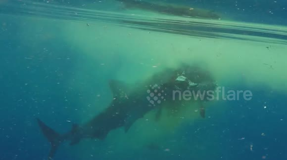 Tiger shark eats zebu near Mayotte beach