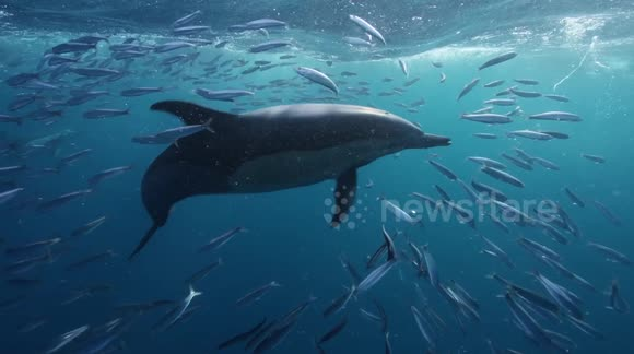 Marine life gather for 'Sardine run' in South Africa