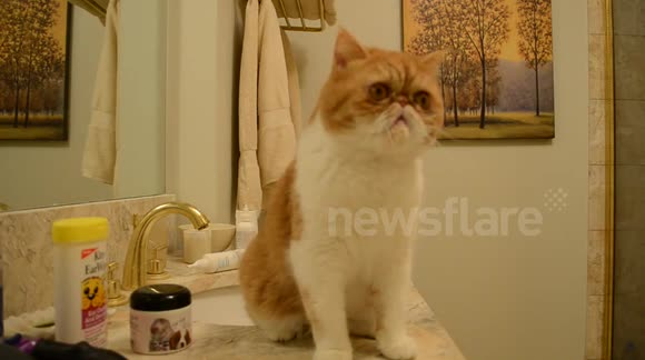 Super cute exotic shorthair (flat face) cat vs. dental floss