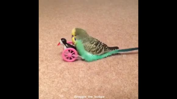 Budgie humps toy and breaks it