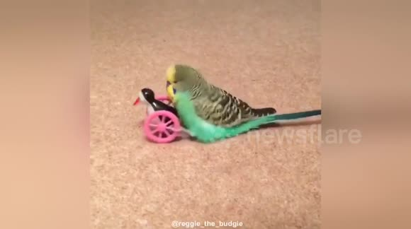 Newsflare Edit - Budgie humps toy and breaks it