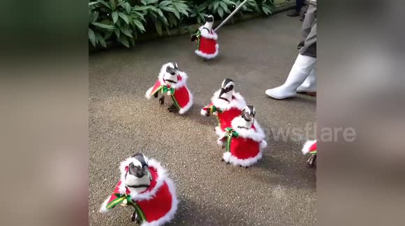 Penguins parade in Christmas outfits