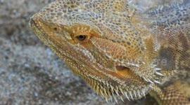 Newsflare - Pet bearded dragon feeds on live crickets