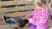 Duck has a cute relationship with little girl