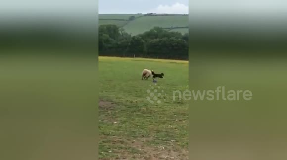 Newsflare Edit - Sheep and sheepdog role reversal - dog being chased by a sheep