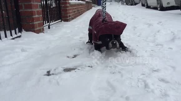 Newsflare Edit - Adorable French Bulldog refuses to walk in the snow