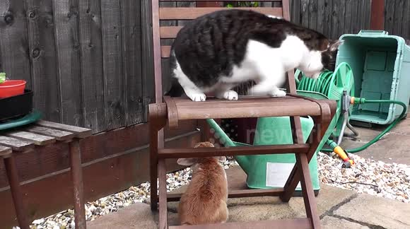 Fully Grown Cat Troubled and Scared by Little Charismatic Rabbit!