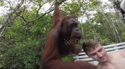 Orangutan slaps tourist in the face to get treat