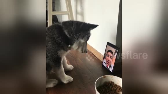 Newsflare Edit - Husky puppy 'Face Times' with owner for the first time